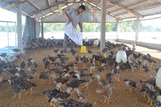 Phú Yên: Xây dựng các mô hình chăn nuôi gà an toàn trên đệm lót sinh học
