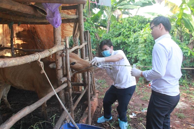Đắk Lắk: Dịch lở mồm long móng trên đàn gia súc đã được khống chế