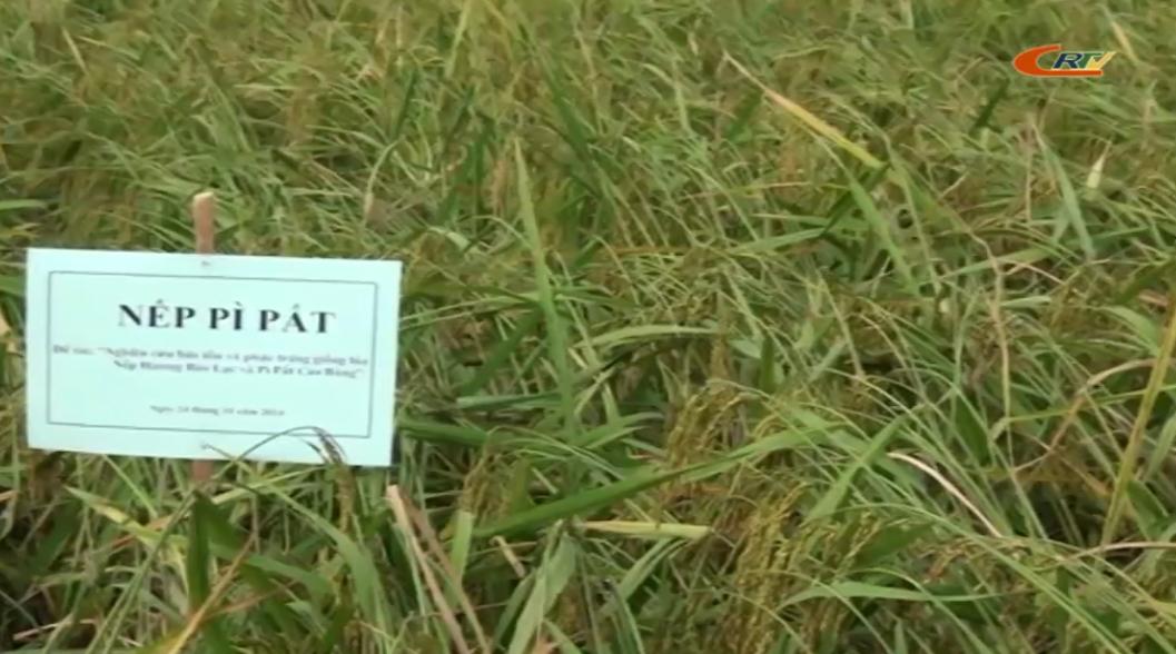 Cao Bằng cần xây dựng thương hiệu cho sản phẩm gạo nếp địa phương