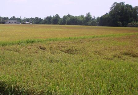 Sản lượng lúa của Hậu Giang đạt gần 1,3 triệu tấn