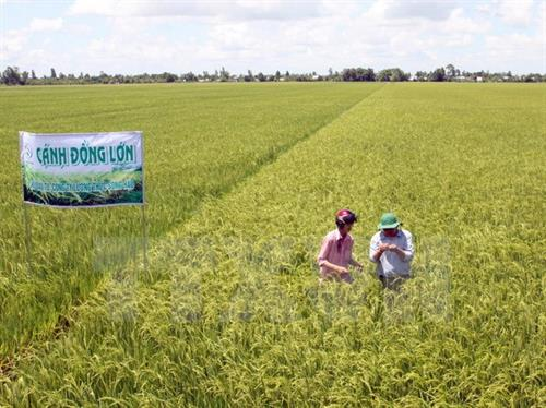 Cần Thơ phấn đấu sản xuất 10.000 ha lúa sạch vụ Đông Xuân 2017 - 2018