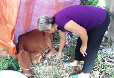 Hà Tĩnh: Bò mới được hỗ trợ đã bị lở mồm long móng