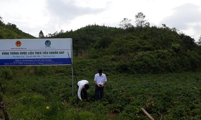 Chuyện về cây xóa đói giảm nghèo ở Bắc Hà, Lào Cai