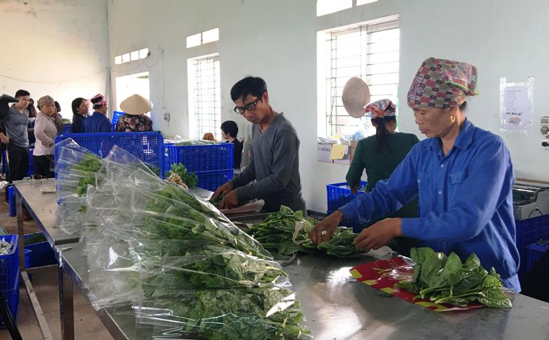 Tứ Xã thành công với việc áp dụng hệ thống đảm bảo chất lượng trong sản xuất rau hữu cơ