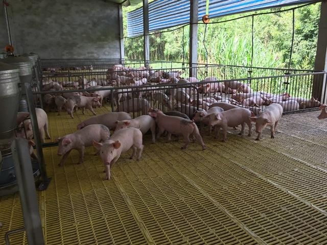 Đồng bằng sông Cửu Long: Người chăn nuôi vẫn gặp khó khi giá lợn hơi ở mức thấp