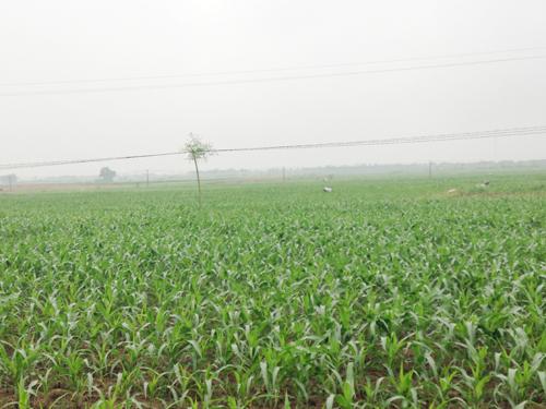 Trên 4,6 tỷ đồng hỗ trợ trồng ngô biến đổi gen