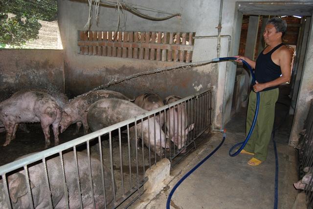 Người nuôi lợn giống đang lỗ gần 150 nghìn đồng/con