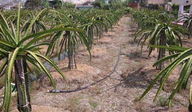 Long An: Nhiều địa phương chuyển đổi cây trồng đạt hiệu quả kinh tế cao