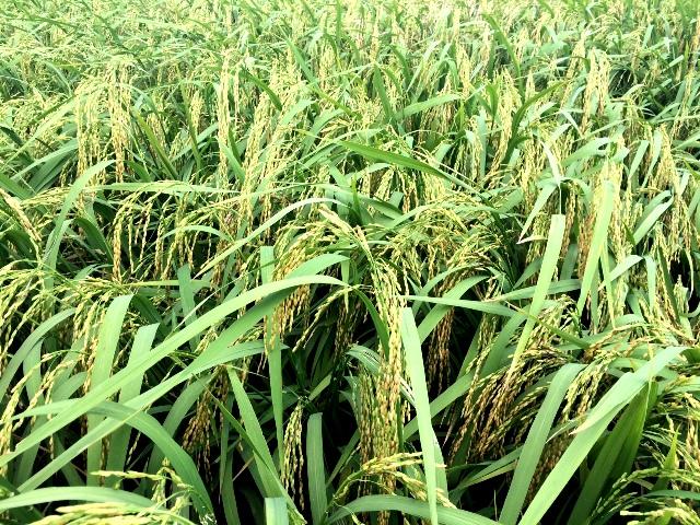 Vĩnh Tường (Vĩnh Phúc): Đẩy mạnh gieo cấy vụ Đông Xuân năm 2017-2018