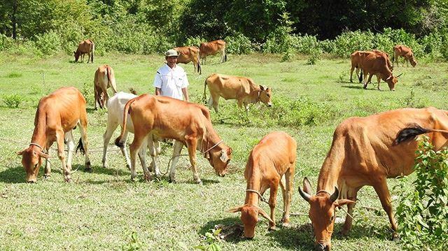 """Dự án """"Ngân hàng bò"""" mở hướng thoát nghèo ở Ninh Thuận"""