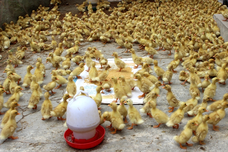 Vĩnh Tường (Vĩnh Phúc): Tăng cường chỉ đạo sản xuất chăn nuôi trên địa bàn huyện