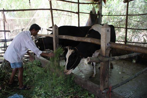 Hiệu quả từ Dự án hỗ trợ người nghèo nuôi bò ở Sóc Trăng