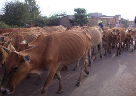 Vĩnh Phúc: Người chăn nuôi cần chủ động chống rét cho đàn vật nuôi