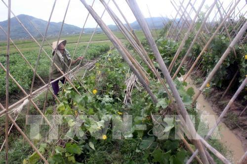 Tiền Giang mở rộng diện tích rau màu luân canh