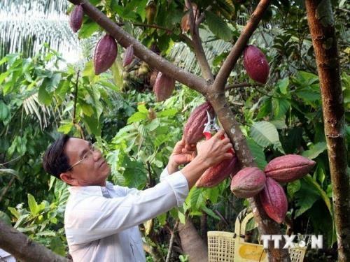 Ca cao Đắk Lắk khó cạnh tranh với các loại cây trồng lâu năm