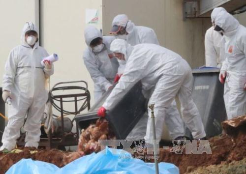 Hàn Quốc phát hiện ổ cúm gia cầm mới ở khu vực Tây Nam