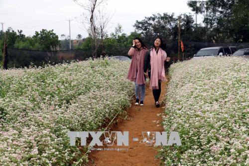 Đồi hoa tam giác mạch thu hút khách du lịch đến Nghệ An