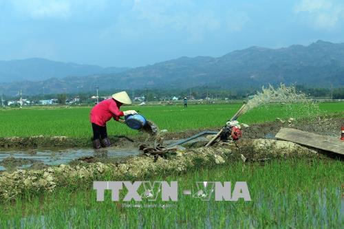 Điện Biên khắc phục tình trạng lúa Đông Xuân bị hư hại sau đợt rét đậm, rét hại