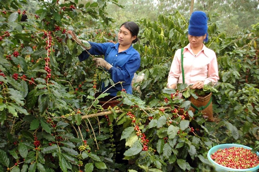 Đắk Lắk tái cơ cấu lại ngành cà phê để phát triển bền vững