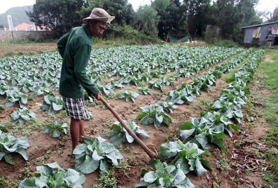 Nông dân Côn Đảo tích cực chăm sóc rau màu đón Tết