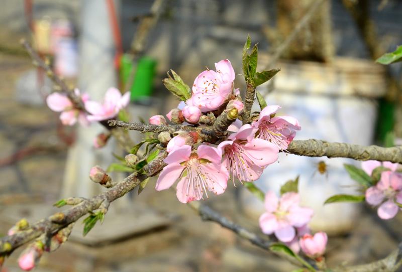 Cây đào mùa xuân