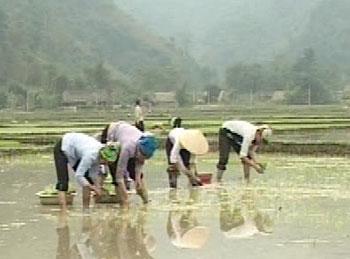 Cả nước đang tập trung vào gieo cấy, chăm sóc lúa đông xuân