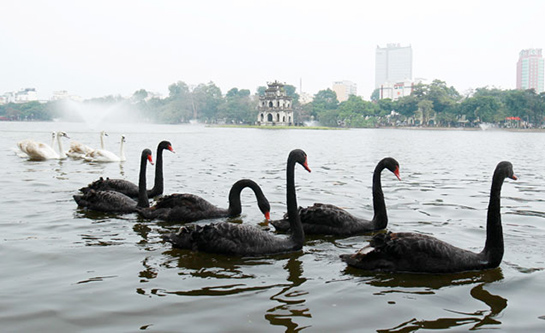 Hà Nội: Thả thử nghiệm 12 con thiên nga tại hồ Gươm