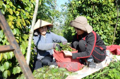 """Đắk Lắk """"khát"""" lao động thu hoạch hồ tiêu"""