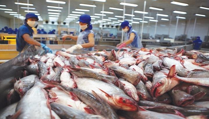 Tiền Giang: Giá cá tra nguyên liệu tăng mạnh