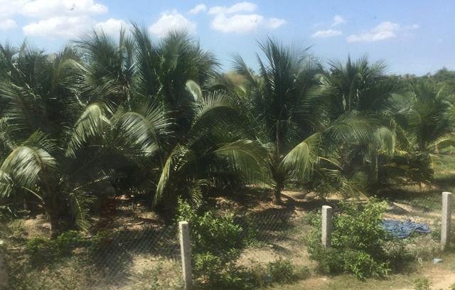 BếnTre: 70% diện tích dừa xiêm xanh đang cho trái