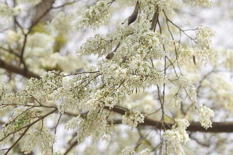 Hà Nội đẹp ngỡ ngàng trong mùa hoa sưa