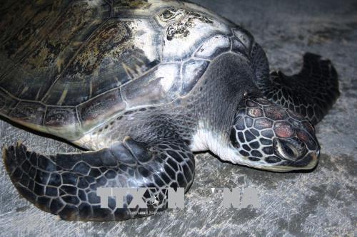 Quảng Bình: Vận động ngư dân thả vích quý hiếm trở lại biển khơi