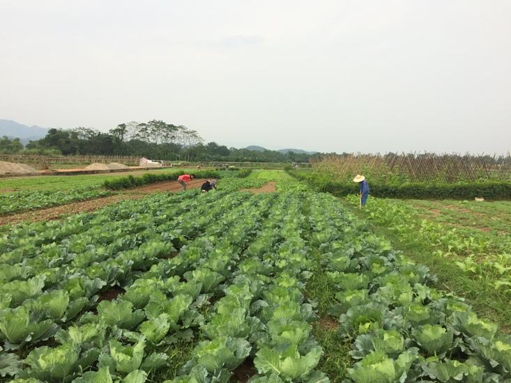 Chuyển đổi trồng rau màu để tránh thiên tai