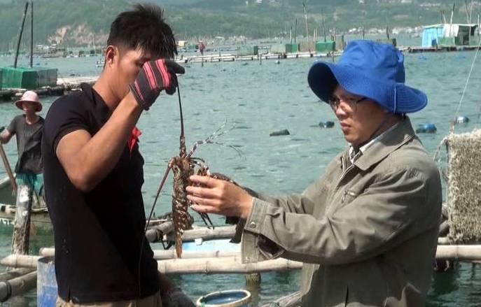 Phú Yên: Bệnh sữa ở tôm hùm có dấu hiệu tái phát