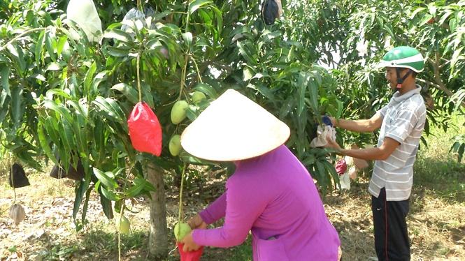 Đắk Nông: Hình thành vùng chuyên canh xoài đạt chuẩn VietGAP