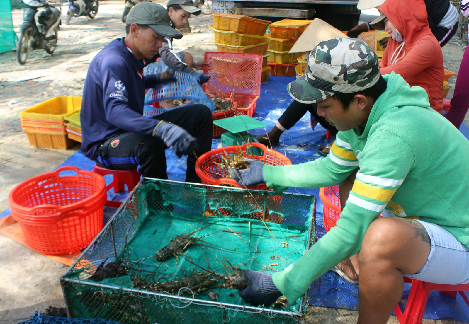 Phú Yên: Khó kiểm soát chất lượng tôm hùm giống