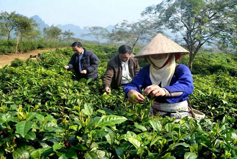 Nông nghiệp hàng hóa, hướng đi hiệu quả của Tuyên Quang