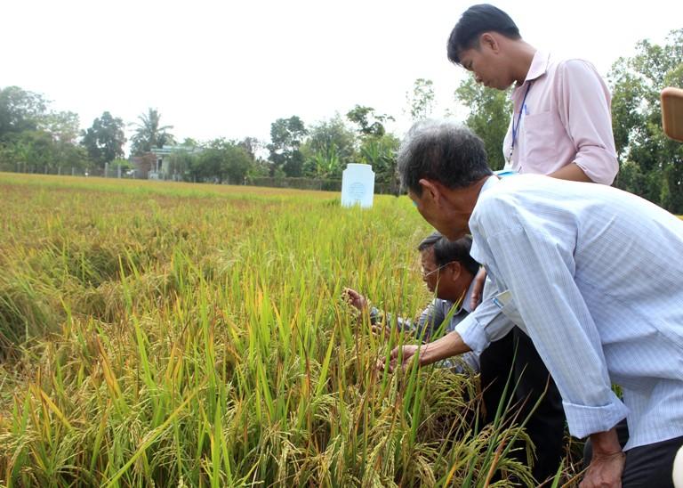 Bệnh lùn sọc đen hại lúa có nguy cơ bùng phát thành dịch