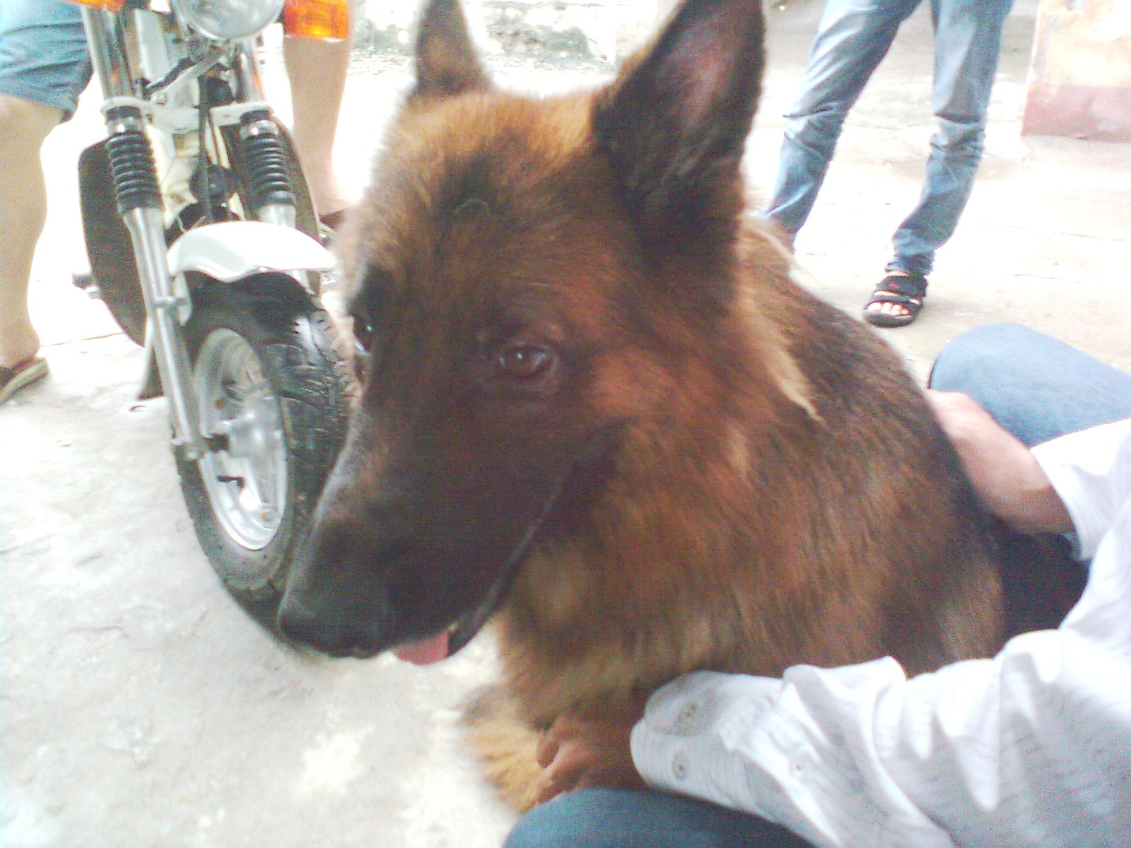 Nguy cơ tiềm ẩn từ việc nuôi chó dữ