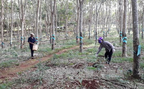 Bình Phước trồng gần 3.500 ha cao su để tạo quỹ an sinh xã hội