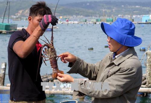 Phú Yên hỗ trợ người nuôi tôm hùm bị thiệt hại
