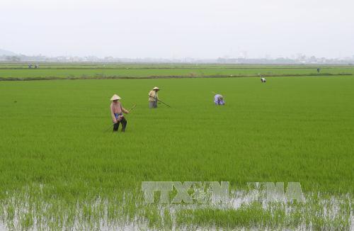 Vĩnh Phúc đồng loạt gieo cấy lúa mùa 2018