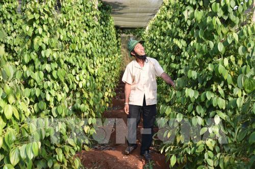 Giúp cho nông dân trồng hồ tiêu vượt khó khăn