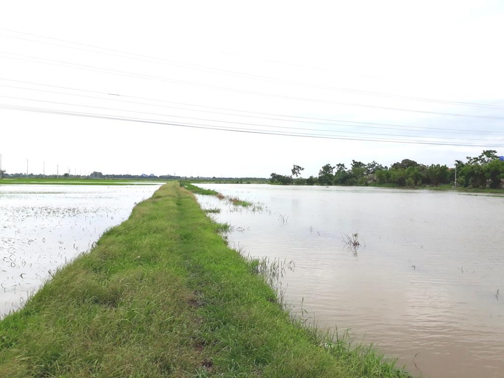 Hà Nam: nhiều diện tích lúa bị nhấn chìm do mưa lũ