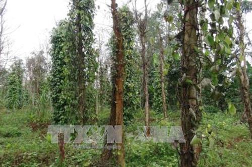 Nhiều diện tích tiêu ở Bình Thuận nhiễm bệnh chết nhanh, chết chậm