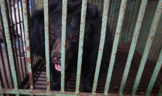 Thái Nguyên: Người dân tự nguyện chuyển giao hai cá thể gấu