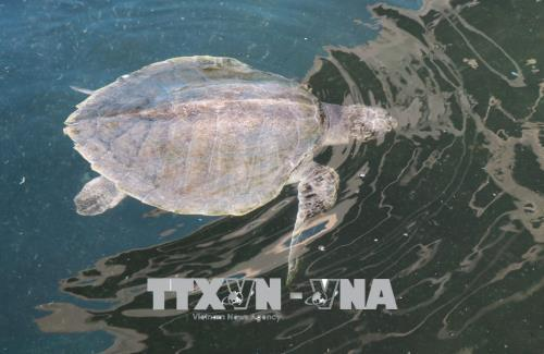 Tăng cường bảo vệ loài rùa biển quý hiếm
