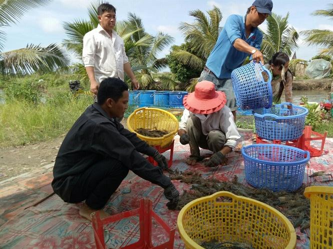 Trà Vinh: Dành 2,3 tỷ đồng giám sát dịch bệnh tôm nuôi