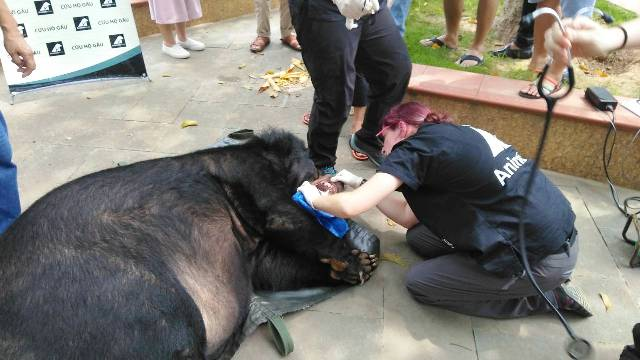 Cứu hộ khẩn một cá thể gấu ngựa tại TP Lào Cai