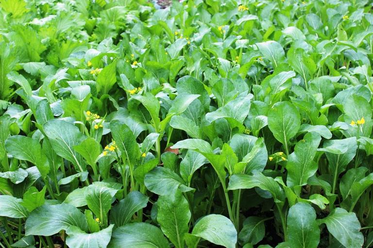 Phấn đấu sản xuất vụ Đông ở miền Bắc đạt 405 nghìn ha